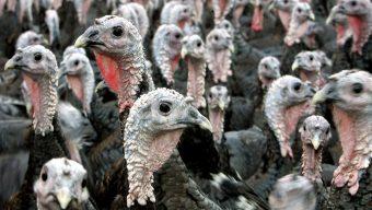 Présence du virus H5N3 dans un élevage de volailles à La Jumellière