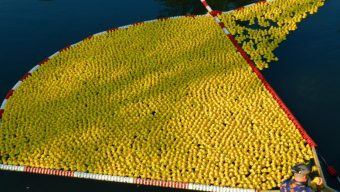 Une course de 20 000 canards sur la Maine pour Tout Angers Bouge