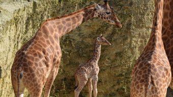 Naissance d'un girafon au Bioparc de Doué-la-Fontaine