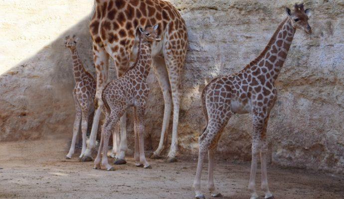 Naissance exceptionnelle d'un 3ème girafon au Bioparc de Doué-la-Fontaine