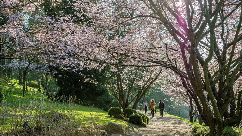 Fête des cerisiers Hanami - Parc Oriental de Maulevrier