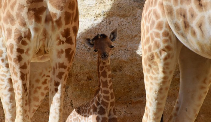 Un second girafon voit le jour au Bioparc de Doué-la-Fontaine