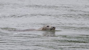 Pour la première fois, un phoque gris observé en Anjou