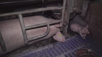 L'association L214 dénonce des maltraitances dans un élevage de cochons du Maine-et-Loire