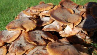 L'Anses met en garde contre les risques d'intoxication avec les champignons