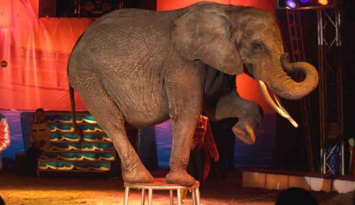 Bientôt la fin des cirques avec animaux à Angers