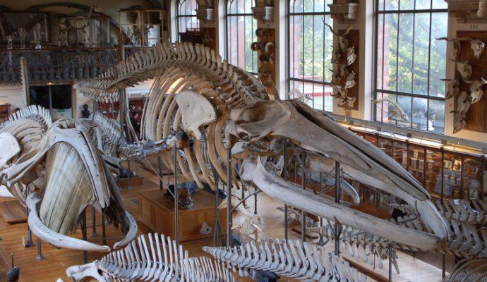 Une maquette géante de plésiosaure exposée au Muséum des sciences naturelles