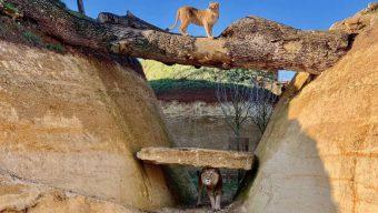 Le Bioparc de Doué-la-Fontaine ouvrira ses portes au public le samedi 16 mai