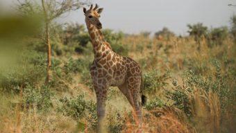 Le Bioparc de Doué-la-Fontaine collecte 7800 € pour créer une pépinière dans la zone girafes au Niger