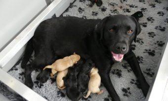 L'Association les Chiens Guides d'Aveugles de l'Ouest annonce la naissance de neuf chiots qui auront bientôt besoin d'une famille d'accueil