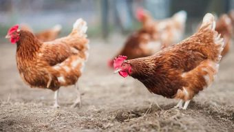 Influenza aviaire : 55 communes placées en zone à risque