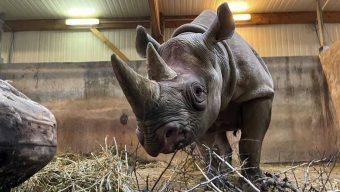 Une jeune femelle rhinocéros noir rejoint le Bioparc de Doué-la-Fontaine