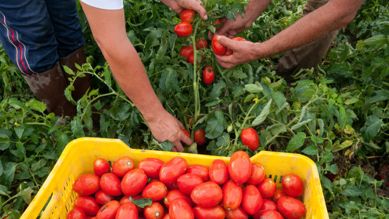 agriculture - tomates