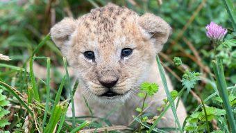 Un lionceau est né au Bioparc de Doué-la-Fontaine
