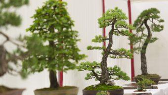 Le Parc oriental de Maulévrier accueille les 11 et 12 septembre la 9ème édition du Salon national du bonsaï